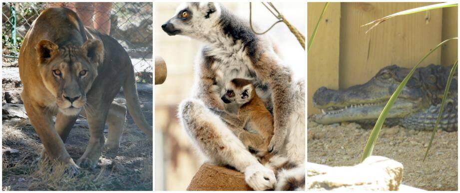 Une lionne, des lémuriens et un caïman (images d'illustration).