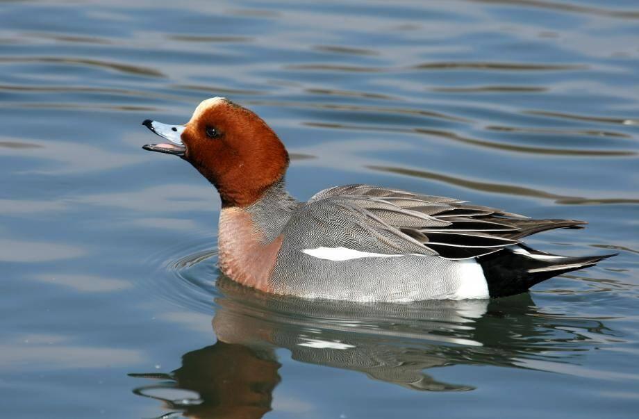 Le canard siffleur n'est pas descendu en quantité habituelle de Sibérie et n'a pas pris ses quartiers d'hiver, en novembre, à Hyères.