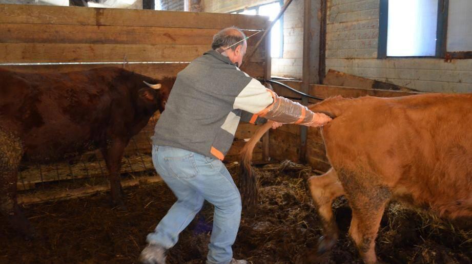 M. Girard passe son bras dans le vagin de la vache pour procéder à l'insémination artificielle.