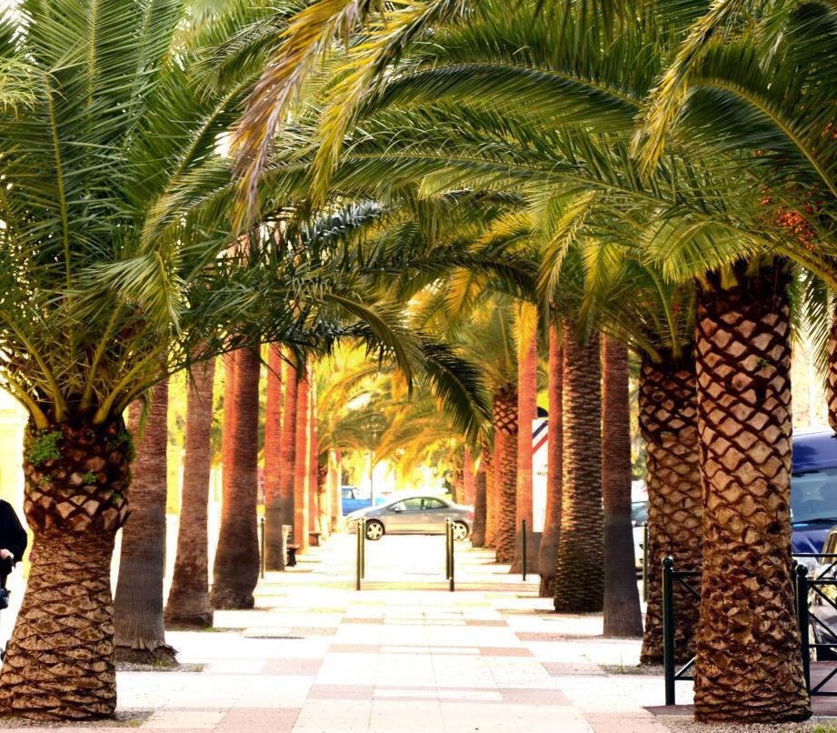 Entre 3000 et 4000 palmiers devraient être traités à Hyères par la Ville comme par les particuliers.
