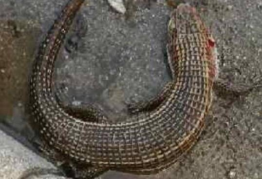 Cet espèce de gros lézard pourrait provenir de chez un particulier.