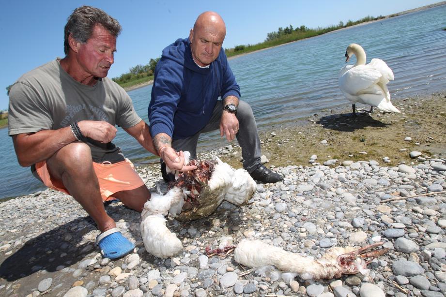 Daniel Narcy et Patrick Villardry montrent la coupure du cou de la femelle cygne.
