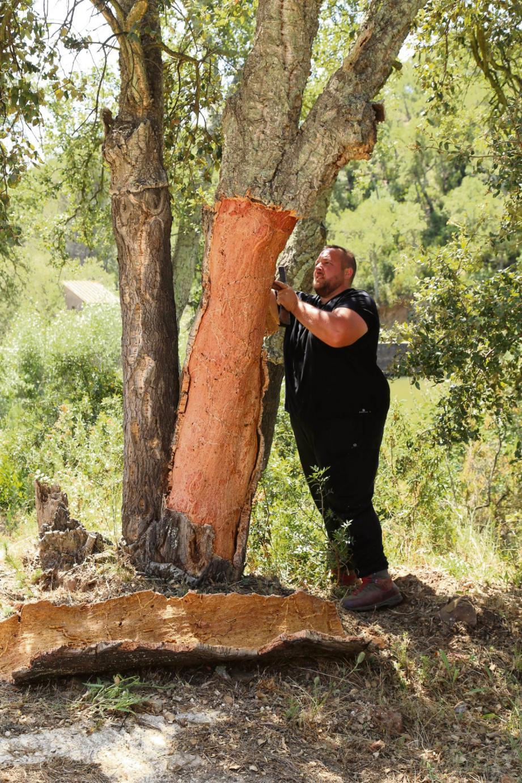 La levée de liège nécessite un savoir-faire technique sans lequel il existe un risque de blesser l'arbre.