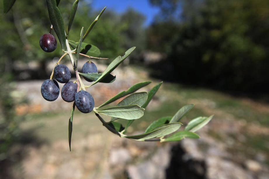 L'olive de Nice , réputée pour son goût.