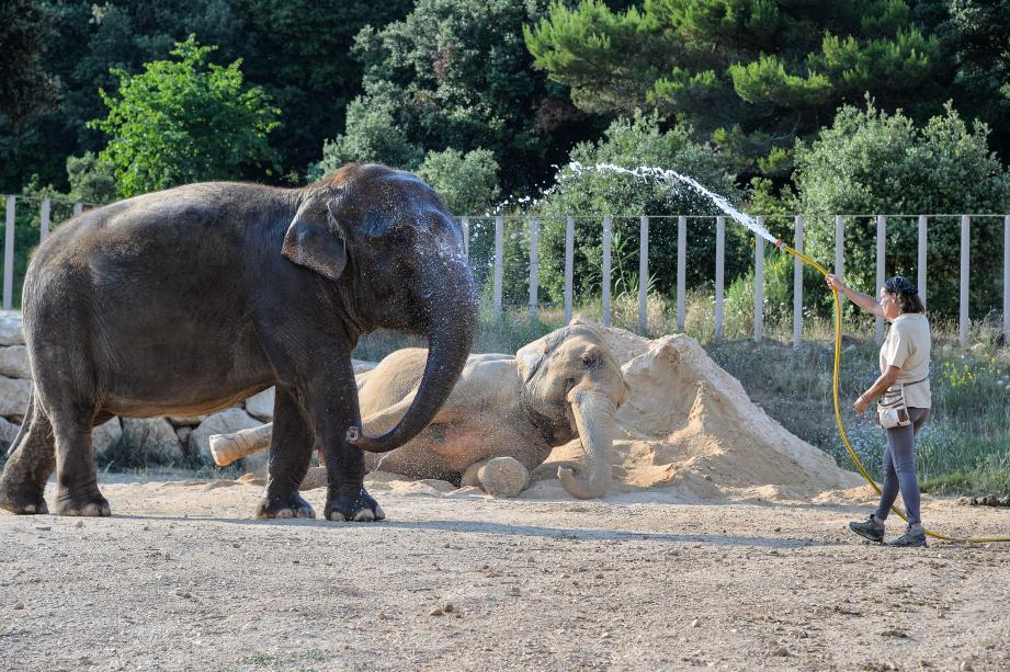 Instant de jeu entre la princesse Stéphanie, Baby et Népal, à l'heure de la toilette dans l'enclos des éléphantes. Au programme : bain de boue et rinçage au jet d'eau.