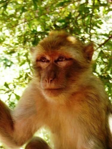 C'est un singe comme celui-ci, de type Magot qui a été trouvé dans l'appartement du Suquet.