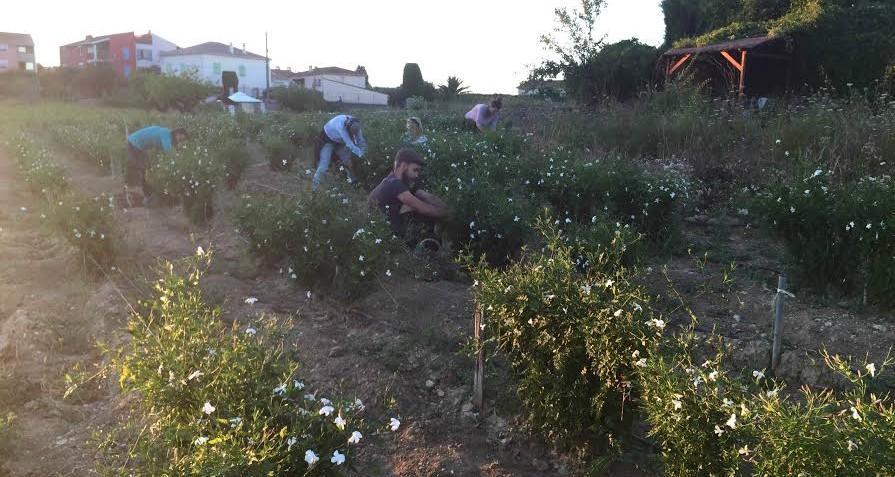 C'est une tradition qui fait la richesse du patrimoine grassois. Pendant trois mois, d'août à octobre, c'est la saison de la cueillette des fleurs de jasmin.