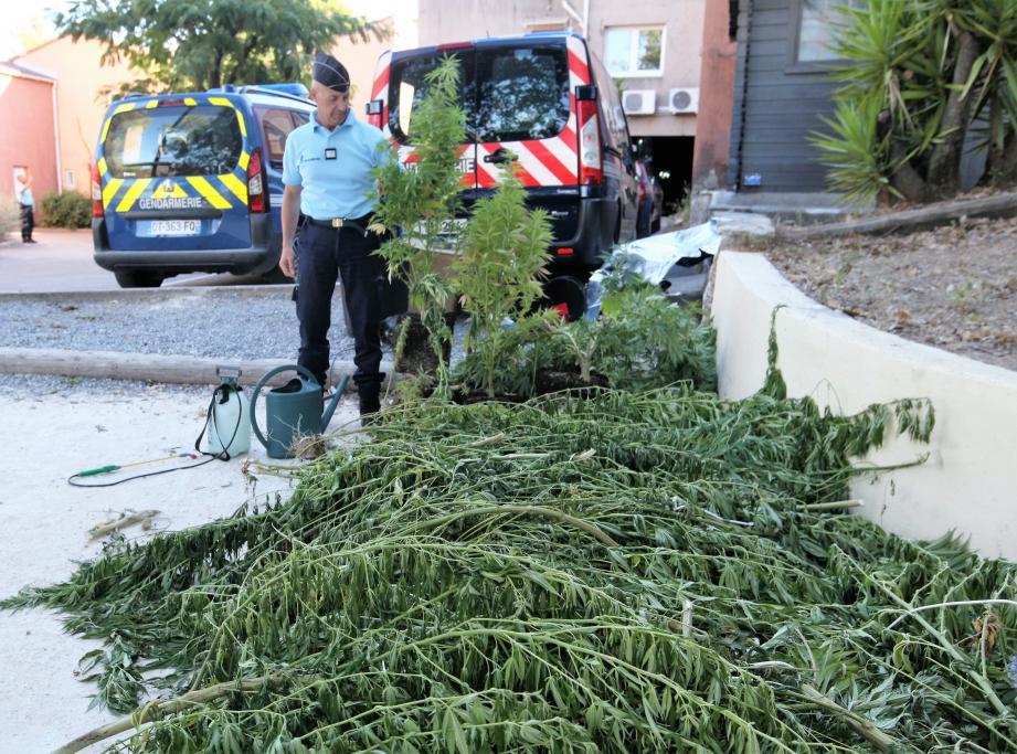 Les gendarmes de Carros ont saisi une cinquantaine de pieds de cannabis