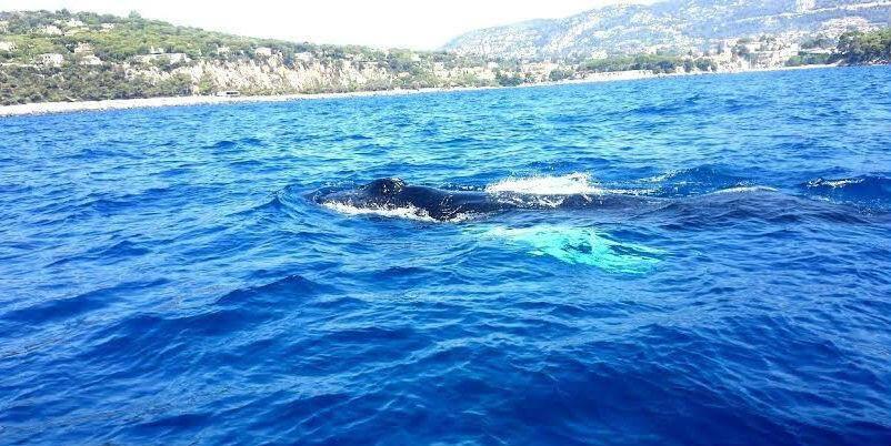 Il y a quelques jours, un moniteur de plongée a aperçu une baleine à bosse au large de la presqu'île.
