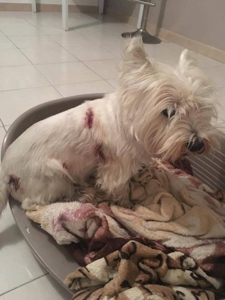 Gama, 3 ans, a été attaquée mardi vers 17 h 30 par deux dogues argentins et souffre de plusieurs morsures et blessures.