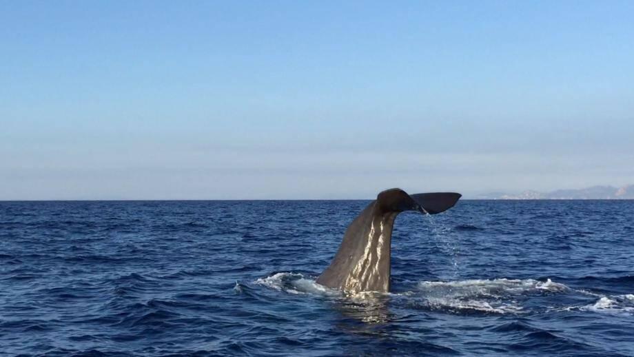 Le cachalot a été vu hier matin par deux jeunes Cannois partis pêcher au large des îles de Lérins.