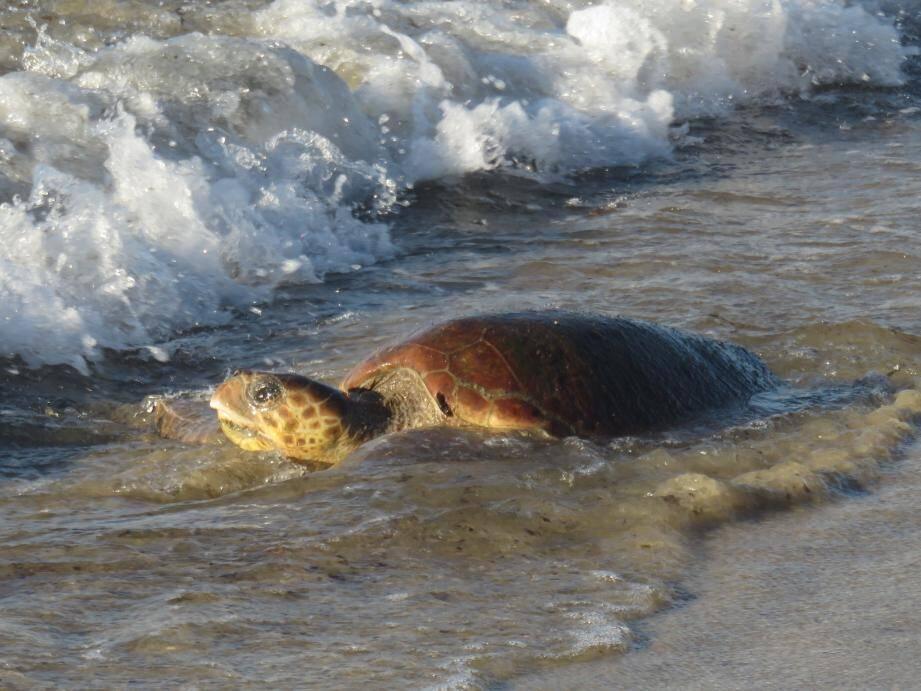 La tortue mesure environ 70 cm de long pour 40 cm de large.
