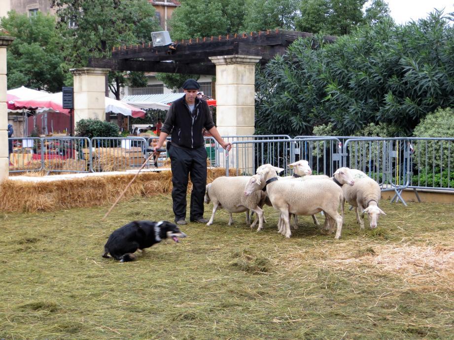 Moment fort : le rassemblement de troupeau avec un chien de berger.