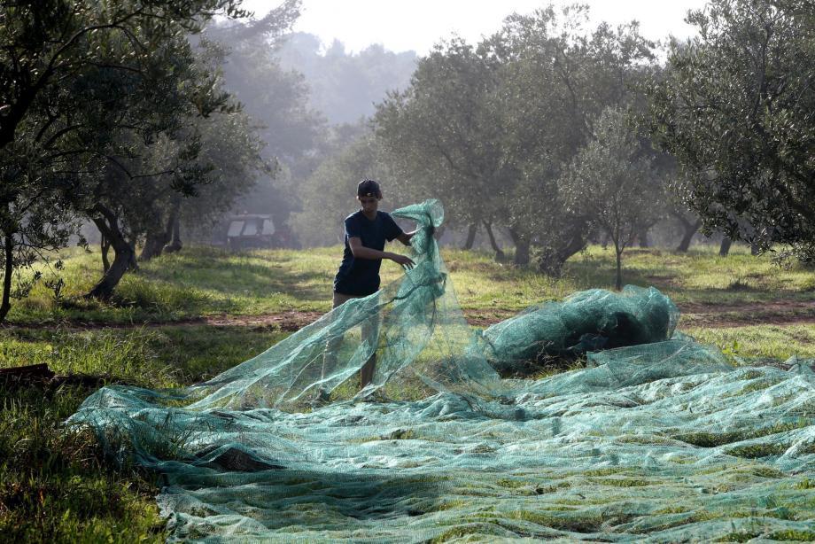 La collecte des olives se fait, à l'aide de peignes électriques, dans des filets posés à même le sol.