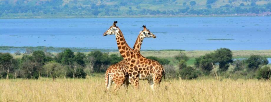 Des girafes dans la savane en Ouganda, le 1er décembre 2016.