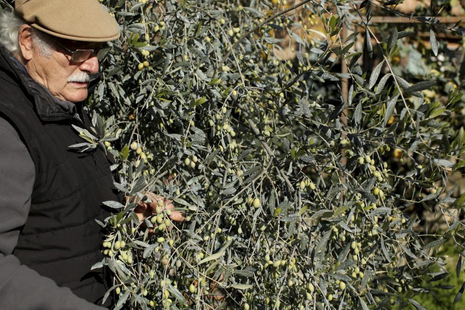 Pierre Poussou veille avec amour sur son olivaie.