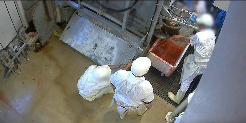Des images clandestines avaient provoqué la fermeture de l'abattoir du Mercantour