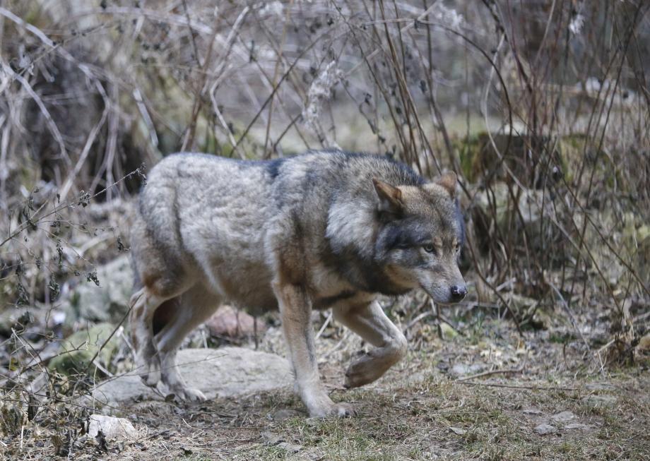 Un loup au parc Alpha, dans le Mercantour.