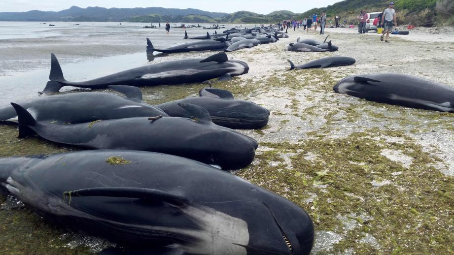Les autorités doivent évacuer au plus vite les carcasses de baleines échouées