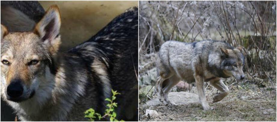 Le loup et le chien loup tchèque ont de nombreuses similitudes.