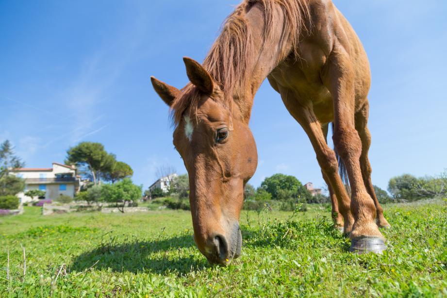 Le débroussaillage des parcelles d'Univalom sera assuré par les chevaux de l'association Defend Horse. Qui propose, également, ses services aux particuliers.