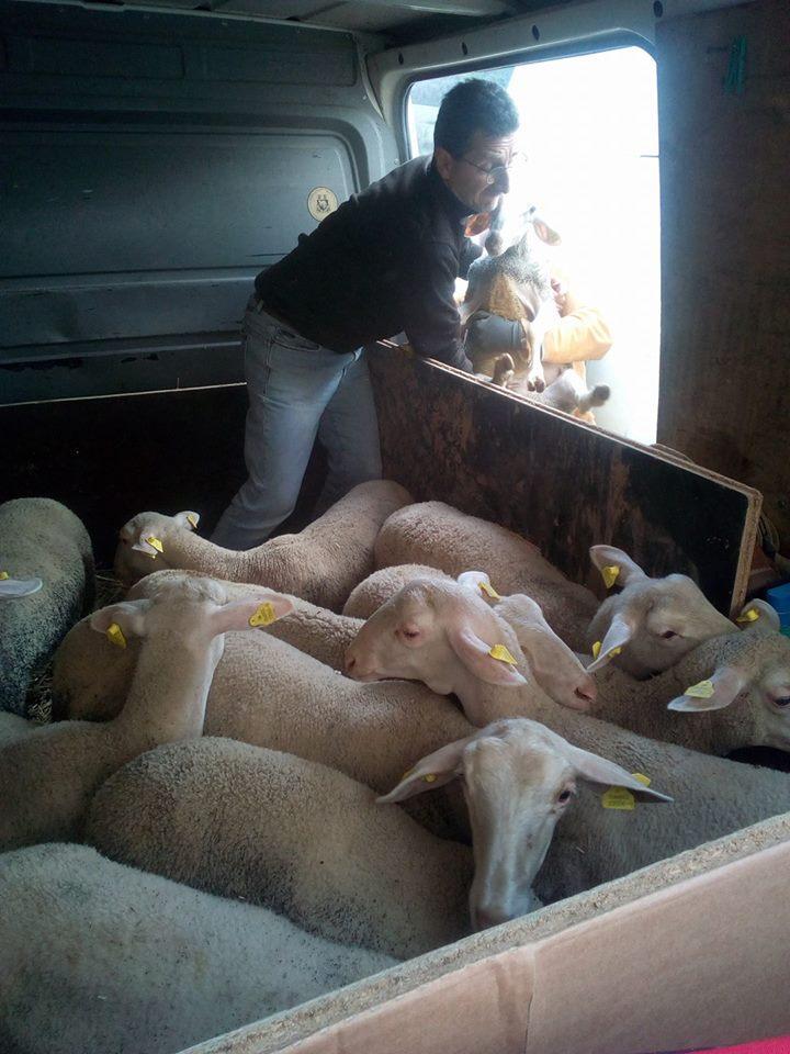 A l'heure du déchargement des bêtes dans les Abruzzes.