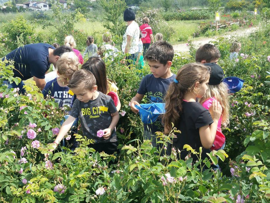Les écoliers ont découvert les Jardins du MIP et ont participé avec ravissement à la cueillette de la rose Centifolia.