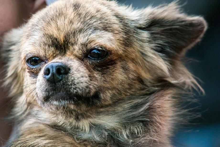 La victime du chien était un chihuahua.