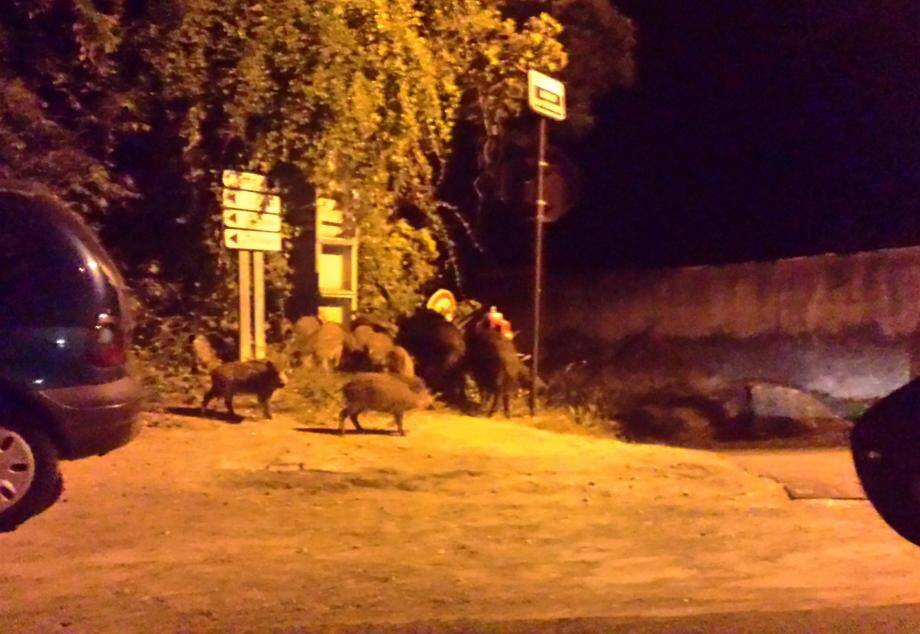 Les sangliers aperçus à Trans-en-Provence.