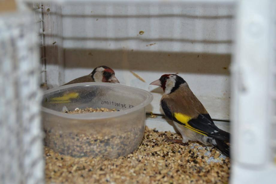 Les deux oiseaux récupérés mercredi à Toulon.