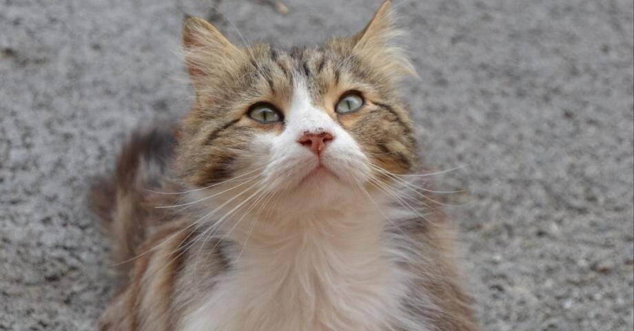 Le chat Chevelu.