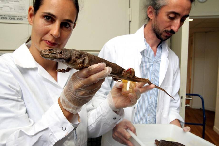 Aurélien Mirallès et Raquel Vasconcelos sont chargés d'examiner ces cinq lézards qui portent le nom de scinques géants.