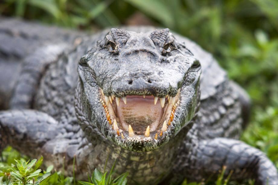 Image d'illustration d'un crocodile.