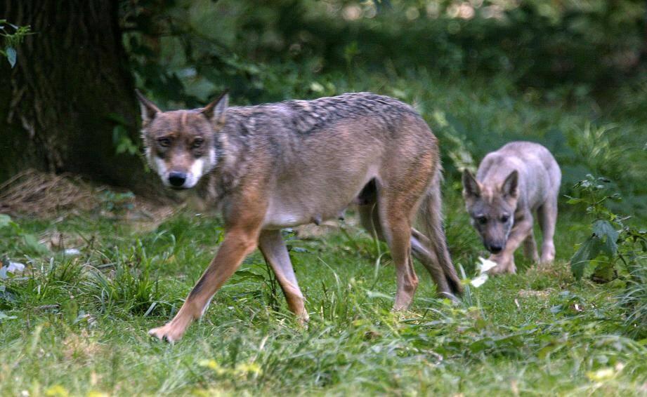 Un louve accompagné de son louveteau dans un parc animalier.
