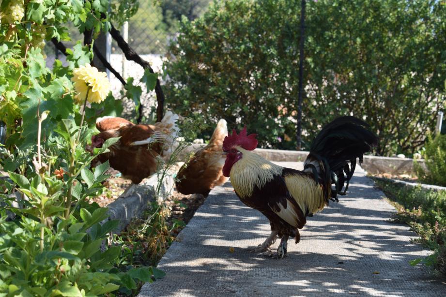 Il a été un temps envisagé d'opérer César (ci-dessus) et Rubis, les deux coqs de la famille Yengo, pour les faire cesser de chanter. Une opération considérée comme de la mutilation par les vétérinaires.