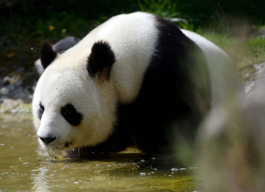 Yuan Zi, le père biologique du petit panda, au zoo de Saint-Aignan-sur-Cher.