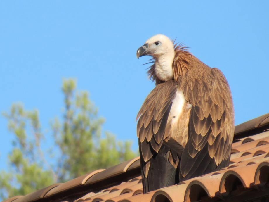 Le vautour fauve juvénile est en bonne santé au centre de soins de Buoux (84).