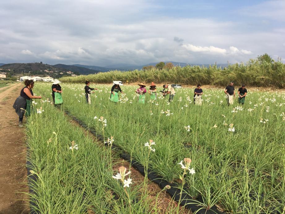 Munis de paniers et de toiles de jute, les saisonniers récoltent la délicate fleur blanche
