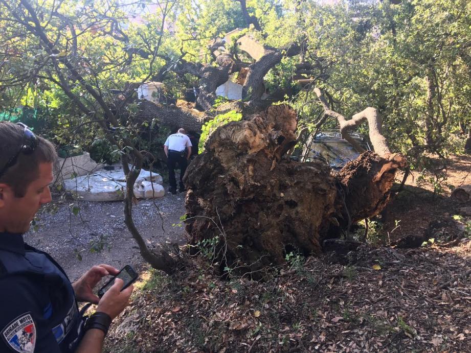 L'arbre mesure environ 20 mètres de haut.
