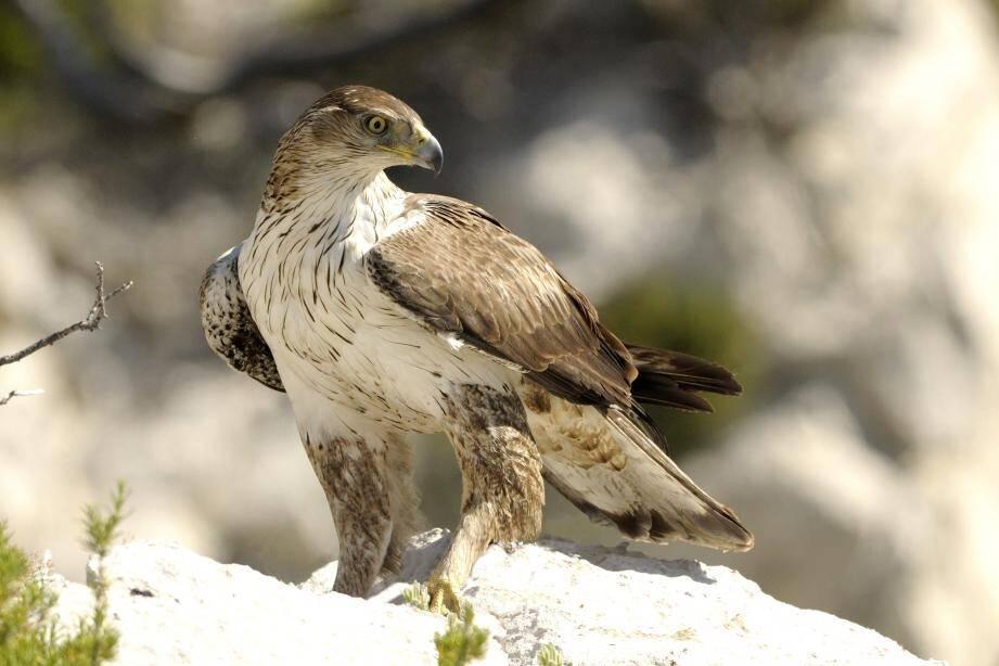 L'aigle de Bonelli est une espèce « en danger » placée sur liste rouge nationale. Le seul couple identifié dans le Var niche à proximité du site de Baumes-des-Lumes.