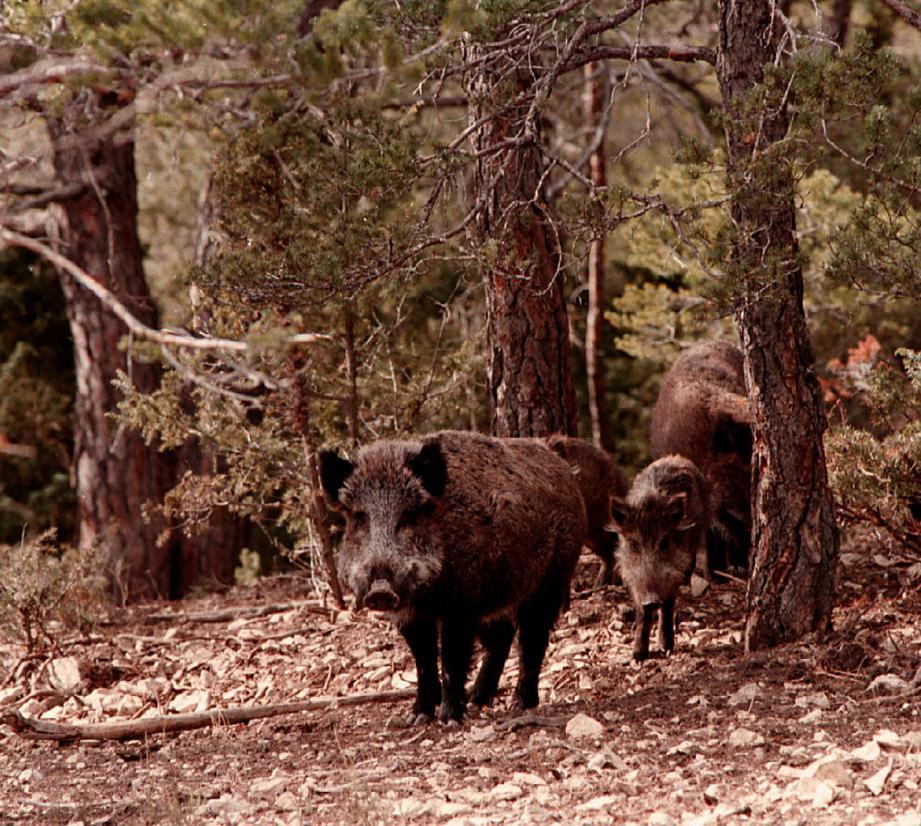 Avec la hausse des prélèvements de sangliers, la création d'une filière permettrait de valoriser la viande chassée.