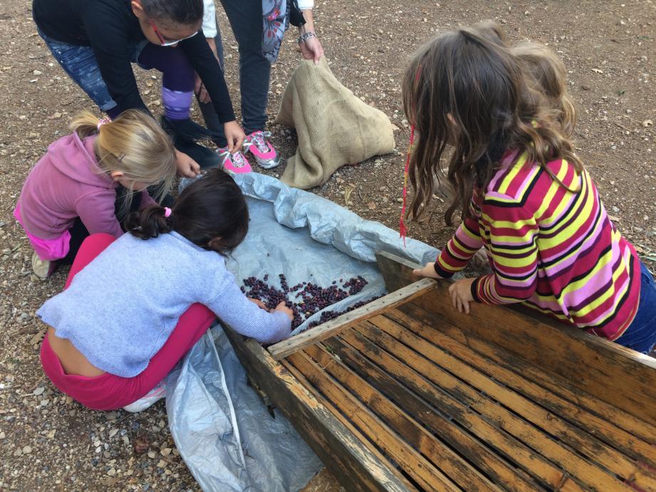 Après avoir fait tomber les olives des arbres, au moyen d'une gaule, les enfants ont soigneusement trié les petits fruits.