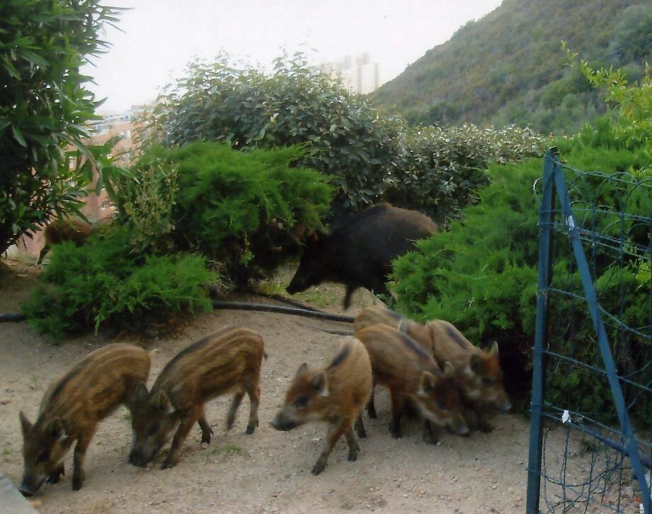 Des sangliers aux portes de Nice (ici, à Eze).