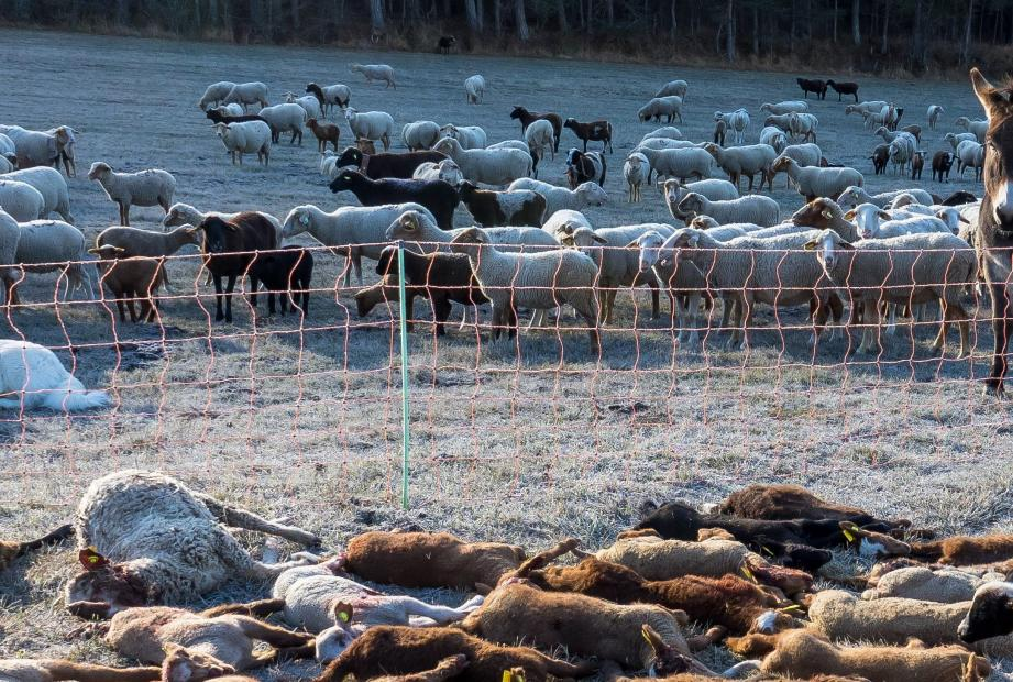 Les moutons ont été attaqués la nuit, dans un parc fermé par une clôture électrifiée.