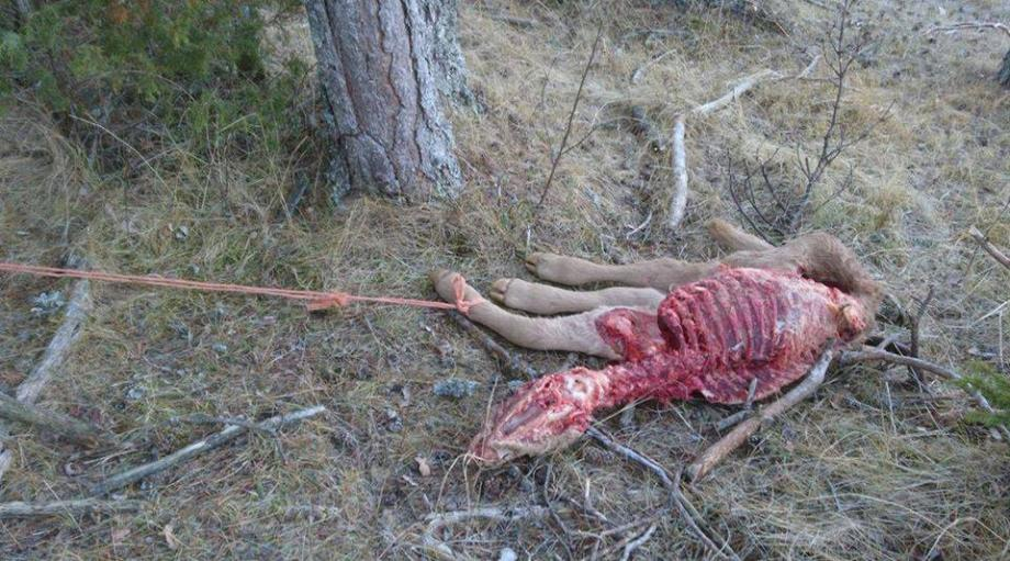 Les randonneurs, qui ont pris cette photo, assurent avoir fait cette découverte macabre en empruntant le chemin à l'ubac de la plaine de Caille.