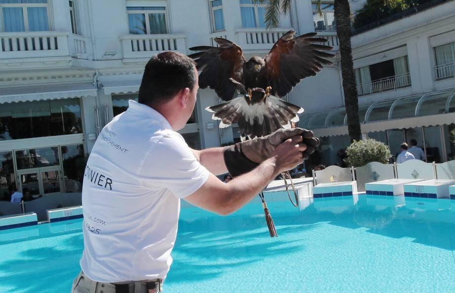L'expérience de l'effarouchement par des faucons est davantage connue à l'ouest des Alpes-Maritimes (comme ici à Cannes). Ainsi que dans le Var.