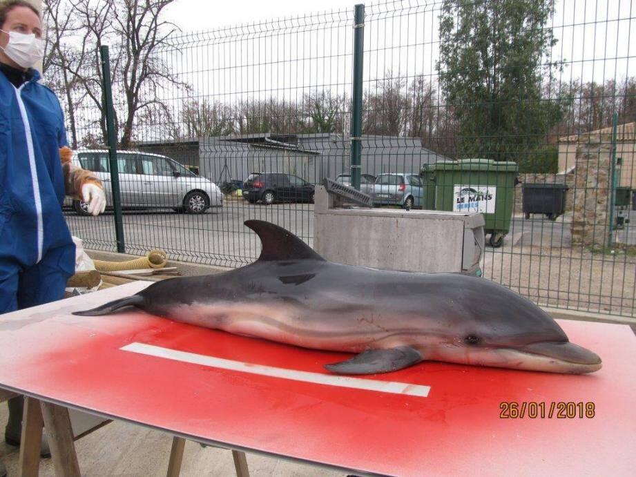 Le cadavre de ce bébé dauphin d'environ 4 mois a été signalé au niveau du Camping de la Plage à Grimaud.