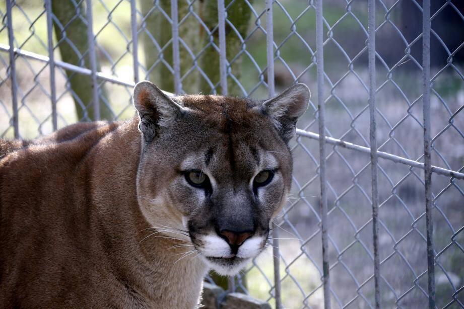 Shan le puma est au zoo du Faron depuis 2013