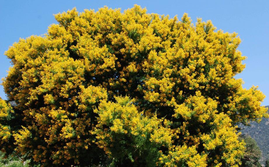 Floraison hivernale en or, ici sur la route de Saint-Clair. (Ph. F. B.)