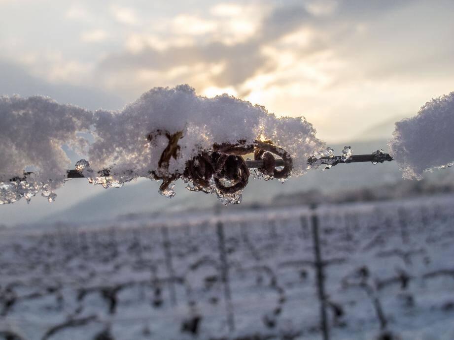 Dans les vignes de Vallombrosa à Pignans aux premières heures du jour ce mardi matin.